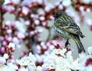 گلگت: پھولوں میں بیٹھی چڑیا خوبصورت منظر پیش کررہی ہے۔