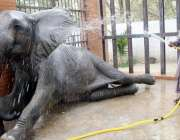 کراچی: چڑیا گھرکا اہلکار ہاتھی کو نہلا رہا ہے۔