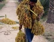 فیصل آباد: کسان تازہ کھجوریں توڑ کر فروخت کے لیے لیجا رہا ہے۔