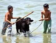 لاڑکانہ: بچے (بچھڑے) کو نہلا کر نہر سے باہر نکال رہے ہیں۔