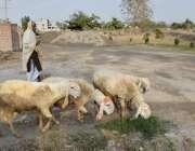 لاہور: نواحی علاقے میں ایک شخص اپنی بھیڑوں کو چرانے کے لیے لیجا رہا ..