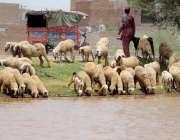 ملتان: بھڑیں پیاس کی شدت کم کرنے کے لیے نہر کا پانی پی رہی ہیں۔