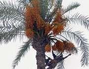ملتان: کسان درخت سے تازہ کھجوریں توڑ رہا ہے۔
