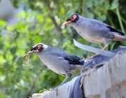 راولپنڈی: دیوار پر بیٹھا پرندوں کا جوڑا دلکش منظر پیش کر رہا ہے۔
