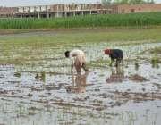 ملتان: کسان چاول کی فصل کاشت کرنے میں مصروف ہیں۔