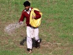 MULTAN: Farmer busy in throwing fertilizer in wheat crop field.