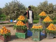 MULTAN: Vendor arranging and displaying seasonal fruit orange to attract the customer outside orange farm.