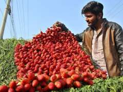 MULTAN: A vendor arranging and displaying seasonal fruit strawberry to attract the customer at his pushcart.