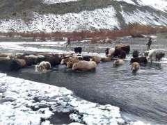 GILGIT: A folk of yak crossing the river near Ghizir.