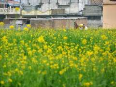 ISLAMABAD: An attractive view of mustard flowers blooming in a field in the suburbs of the federal capital.