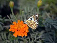 FAISALABAD: A butterfly sucking nectar from a blooming flower in a local park.