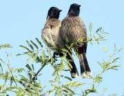ملتان: درخت کی شاخ پر بیٹھے خوبصورت پرندوں کا ایک جوڑا۔