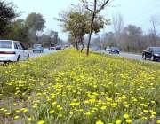 اسلام آباد: شہر میں موسم بہار کے موسم کے موقع پر سینٹر گرین بیلٹ پر موسمی ..