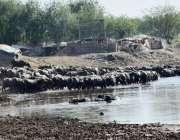 لاہور :بھینسیں دریائے راوی میں نہا رہی ہیں