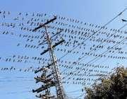 لاہور : شملہ پہاڑی چوک میں کبوتروں کا جھنڈ بجلی کی تاروں پر بیٹھا ہے۔