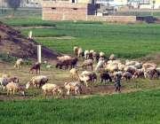 راولپنڈی: نوجوان راوت کے قریب ایک کھیت میں اپنے چرواہوں کے ریوڑ کی حفاظت ..