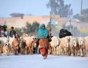 لاڑکانہ: بائی پاس روڈ سے گزرتی بھیڑوں کے ریوڑ لے جانے والی ایک خاتون۔