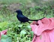 فیصل آباد: کھیت میں سرسوں کے بنڈل پر بیٹھا ایک خوبصورت پرندہ۔