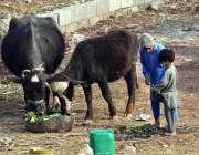اسلام آباد: نوجوان اپنی بھینسیں چروا رہے ہیں۔