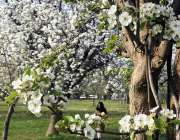 اسلام آباد: شہر میں موسم بہار کے موسم کے موقع پر ایک درخت پر موسمی پھولوں ..