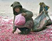 لاہور : خانہ بدوش بچی زمین پرگرے پھول کی پتیاں اکٹھی کررہی ہے۔