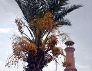 لاہور: کھجور کے درخت کے عقب میں تاریخی بادشاہی مسجد کا مینار خوبصورت ..