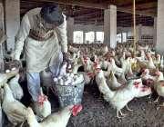 ملتان: روکن ہٹی گاؤں میں ایک مزدور اپنے پولٹری فارم سے انڈے جمع کررہا ..