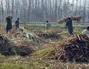 پشاور: کاشتکار کھیت سے گنے جمع کررہے ہیں۔