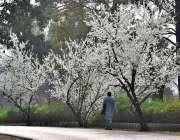 اسلام آباد: شہر میں موسم بہار کے موسم کے موقع پر درختوں پر موسمی  پھولوں ..