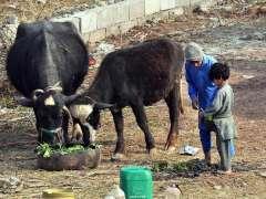 ISLAMABAD:Youngsters feeding their buffalos.