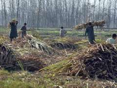 PESHAWAR:Farmers collecting sugarcanes from a field.