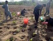 راولپنڈی، شجرکاری مہم کے تحت پودے لگائے جا رہے ہیں۔