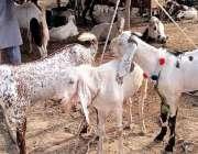 اسلام آباد، آئی فور ٹین میں لگنے والی منڈی مویشیاں میں بکرے فروخت کیلئے ..