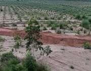 اسلام آباد، وفاقی دارالحکومت میں لگائی گئی زیتون کی فصل کا ایک منظر۔