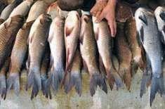 نئی ڈیپ سی پالیسی سے مچھلی کی برآمدات میں 11 فیصد کمی