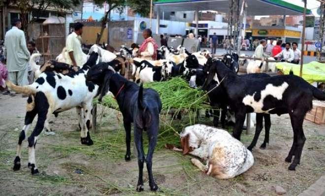 شدید بارشوں اور سیلاب سے بڑی تعداد میں مویشیوں کی ہلاکت ،عید الاضحی ..