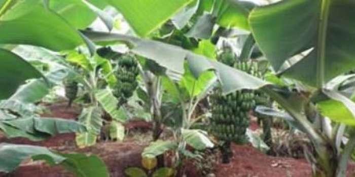 امریکی محکمہ زراعت کی ٹیم نے پتہ لپیٹ وائرس بیماری کی علامات کاسراغ لگالیا ،  کپاس کے زیرکاشت رقبہ میں اضافہ اور بیماری سے مدافعت کی قوت بڑھے گی، امریکی سائنسدان کی بات چیت