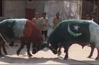 ورلڈ کپ میں ٹاکرے سے قبل پاک بھارت بھینسوں کی ٹکر