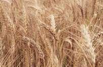 یوکرین سے منگوائی گئی گندم سندھ حکومت کو بھاری پڑگئی، گوداموں میں پڑی ..