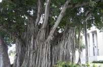 برگد کا درخت ہندومت، بدھ مت، مقامی مسلمانوں سب کیلئے قابل احترام ہے، ..