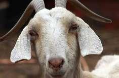 لڑکی پٹانے کے لیے بکری اغوا