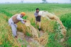 بھارتی ضلع مظفرنگر میں شدید بارشوں سے دلبرداشتہ3 مزید کسان دل کا دورہ ..