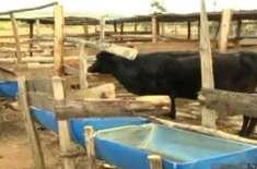 کینیا میں گائے نے چارے کو چھوڑ کر بھیڑوں کو بطور خوراک کھانا شروع کر ..