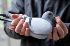 اسکاٹ لینڈ میں ایک ریس کے دوران گم ہوجانے والے کبوتر کی ہیلی کاپٹر کے ..