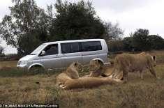 جوہانسبرگ 'خاتون کے خون سے اپنی پیاس بجھانے والے شیر کے خاندان کا ایک ..