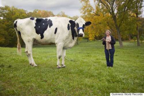 بلوسم، دنیا کی سب سے اونچی گائے