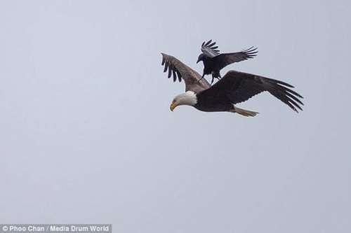 کوے کی عقاب پر سواری