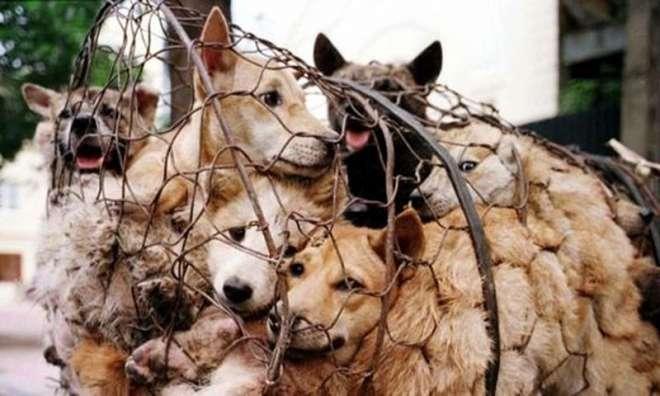 کراچی میں کتوں کے گوشت کی فروخت ڈرامہ نکلی