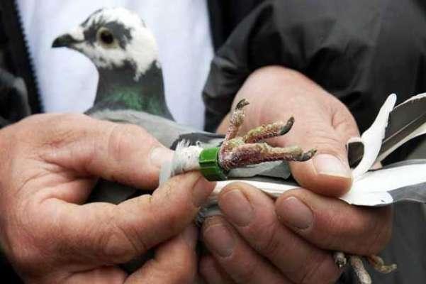 بھارت نے پاکستانی سرحد سے آنیوالے کبوتر کو جاسوس قرار دے کر گرفتار ..