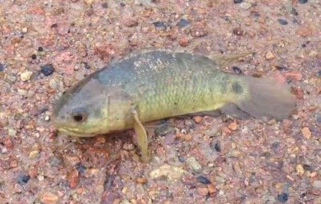شمالی آسٹریلیا میں پانی سے باہر 6 دن تک زندہ رہنے والی مچھلی دریافت